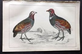 Goldsmith 1851 Hand Col Bird Print. Large Footed Partridge